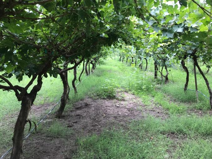 viñedo organico plantas vid